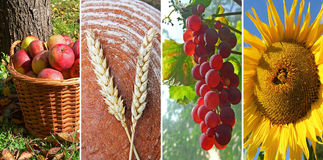 Collage thanksgiving. Collage of four images - Thanksgiving: 1. bio-apples in a wicker basket in the garden, 2. loaf of bread and wheat ears, 3. ripe grape on royalty free stock photo