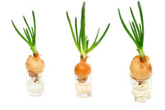 Collage of three photos sprouted onions Royalty Free Stock Photo