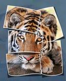 Collage tiger Stock Photos