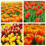 Collage of tulips Stock Image