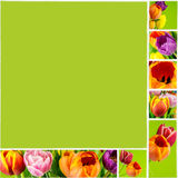 Collage of tulips on green background on white ceramic tile Stock Images