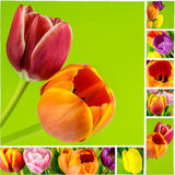 Collage of tulips on green background on white mosaic tile Royalty Free Stock Image