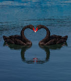 Collage two black swans making heart shape Stock Photos