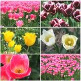 Collage van bloeiende tulpen in verschillende kleuren stock fotografie