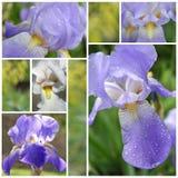 Collage van de bloemen van de Iris Royalty-vrije Stock Foto