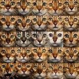 Collage van 25 de Kattengezichten van Bengalen Stock Afbeelding