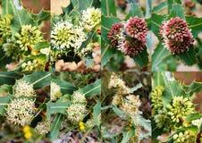 Collage van decoratieve banksias van Bochtig Beeknatuurreservaat Dardanup westelijk Australië in de lente. royalty-vrije stock afbeelding