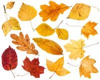 Collage van diverse geïsoleerde de herfstbladeren Stock Foto