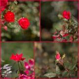 Collage van knockout de rode rozen Stock Foto