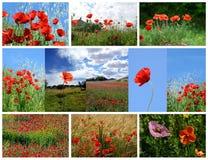 Collage van papaverbloemen die wordt gemaakt Royalty-vrije Stock Afbeeldingen