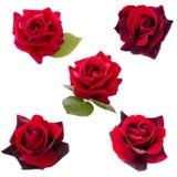 Collage van vijf donkerrode rozen Stock Afbeeldingen