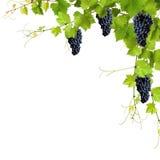 Collage van wijnstokbladeren en blauwe druiven Stock Afbeeldingen