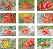 Collage variopinto dei pomodori maturi Fotografia Stock