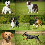 Collage of various pictures of breed dogs. In a summer landscape royalty free stock image