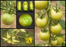 Collage verde dei pomodori Comcept di agricoltura Vendite dei raccolti agricoli Fotografia Stock