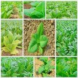 Collage vert de champs de tabac sur le fond blanc Photo stock