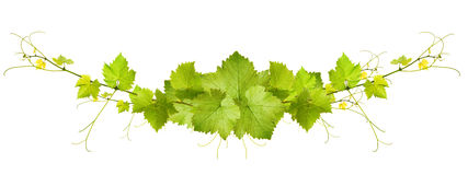 Collage of vine leaves. On white background Stock Photography