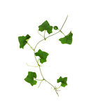 Collage of vine leaves on white background (clipping path) Stock Photos
