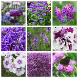 Collage with violet flowers Stock Images