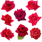 Collage von acht roten Rosen Lizenzfreies Stockfoto