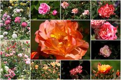 Collage von bunten Rosen Stockfotos
