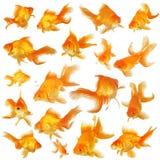 Collage von Fantail Goldfish Lizenzfreie Stockfotos