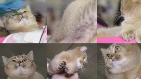 Collage von Katzen auf der Katzenshow stock video