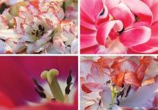Collage von roten Tulpen, Makro Lizenzfreies Stockfoto