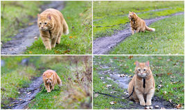 Collage - walking the cat on the leash Royalty Free Stock Image