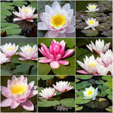 Collage of water lilies from nine photos Stock Image