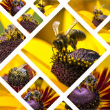 Collage of Western Honey Bee images - travel background (my phot. Os Royalty Free Stock Images