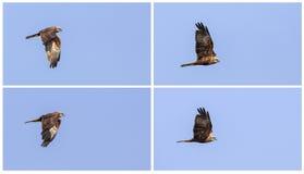 Collage Western Marsh Harrier in Flight Stock Photos