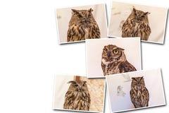 Collage European eagle-owl. Collage on white background European eagle-owl. Portrait of great eagle owl looking angrily on white background stock photos
