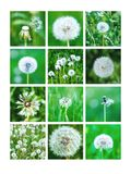Collage Of White Dandelions Stock Photo
