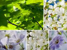 Collage of white flowers and green leaves of maple royalty free stock image