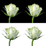 Collage of a white rose Stock Images