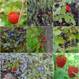 Collage from wild berries Royalty Free Stock Photography