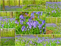 Collage with wild hyacinths Royalty Free Stock Image