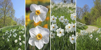 Collage - wild narcissus flowers in the park. Collage of four pictures: wild white narcissus flowers in a springtime park Stock Photo