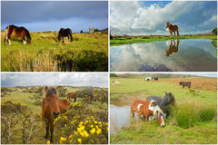 A collage of wild ponies from Bodmin Moor, England Royalty Free Stock Photos