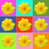 Collage with yellow chrysanthemum. On colored squares royalty free stock photography
