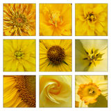 Collage of yellow flowers Stock Image