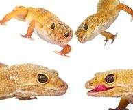 A cropped view of a yellow and orange spotted leopard gecko on w. Collage of yellow and orange spotted leopard geckos on white stock photos