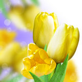 Collage with yellow tulips Royalty Free Stock Photography