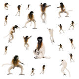 Collage of Young Crowned Sifaka