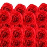 Collagebakgrund av härliga röda rosor Arkivfoto