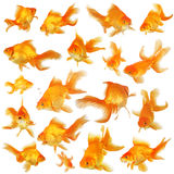 collagefantailguldfisk Royaltyfria Foton