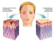 Collagen stock illustrationer