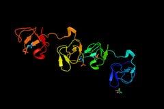Collagen-binding type II domain of seminal plasma protein PDC-10 Stock Photos