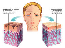 Collagen stock illustration